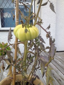 failed green tomato