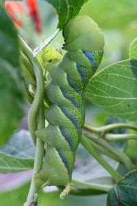 Acherontia_atropos_larva_1
